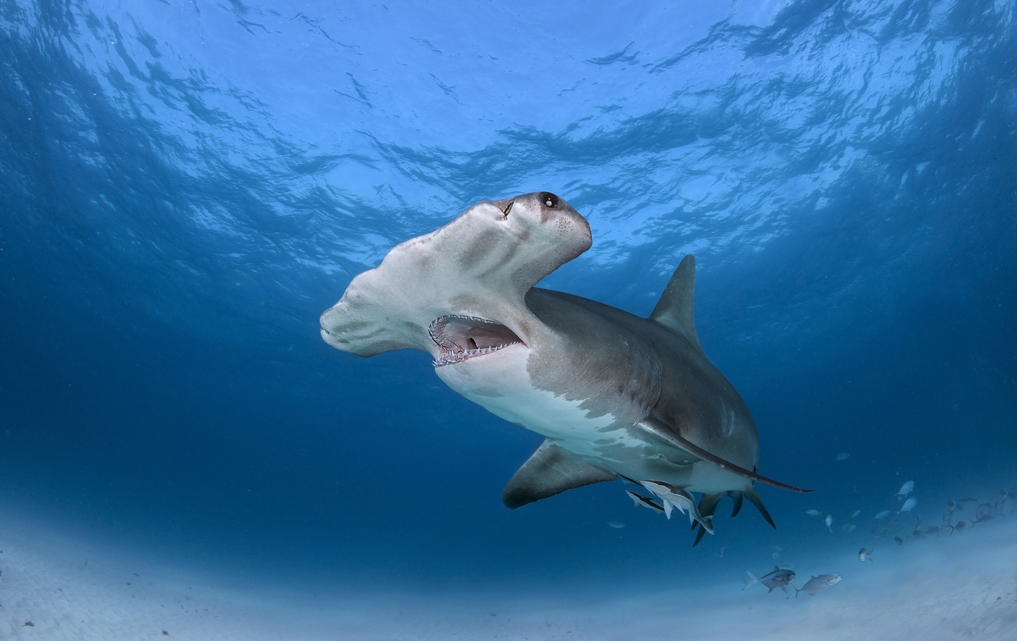 great hammerhead shark pictures - HD2048×1291