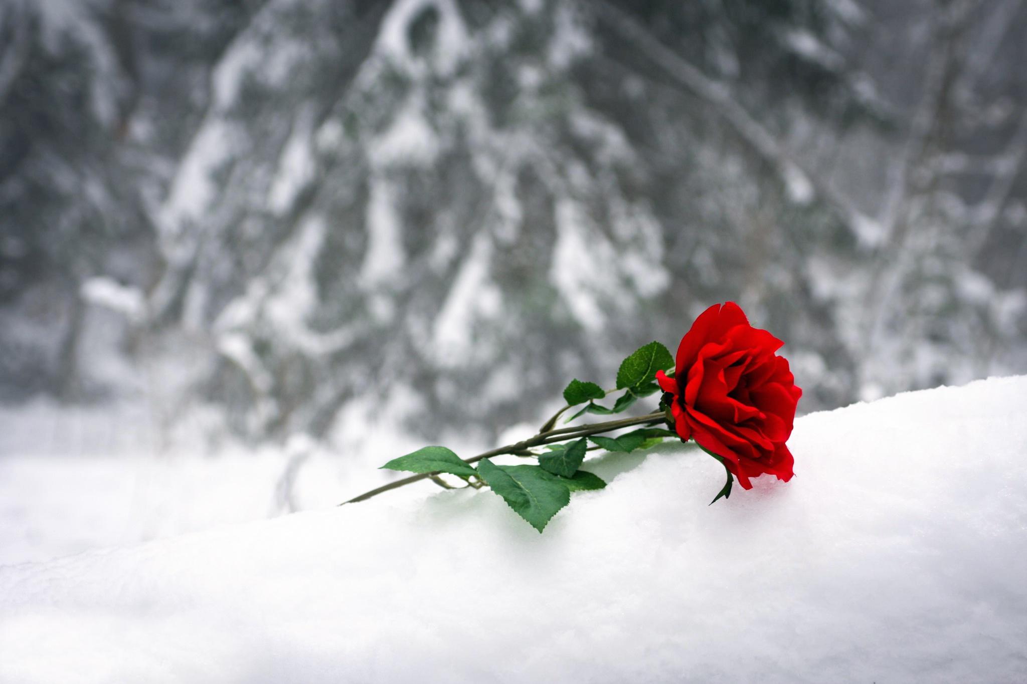 Картинка, картинка розы в снегу