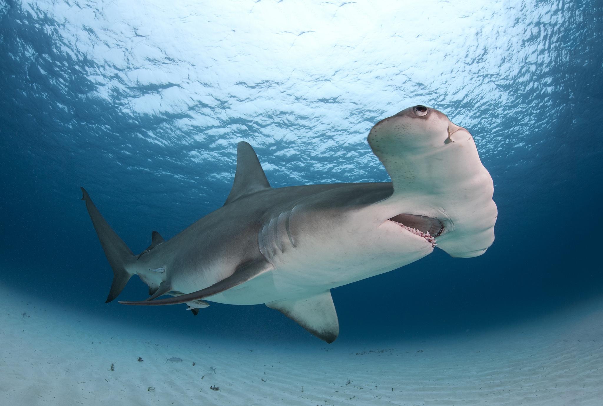 great hammerhead shark pictures - 1113×750