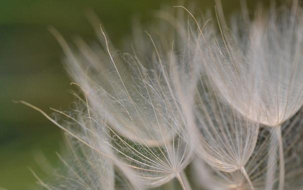 Фото обои растение, природа, былинки, цветы