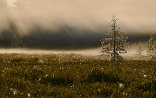 Фото обои поле, туман, дерево