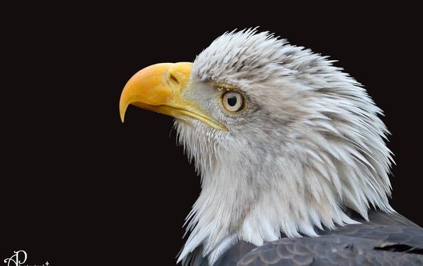 Фото обои птица, хищник, клюв, профиль, оперение, тёмный фон, белоголовый орлан