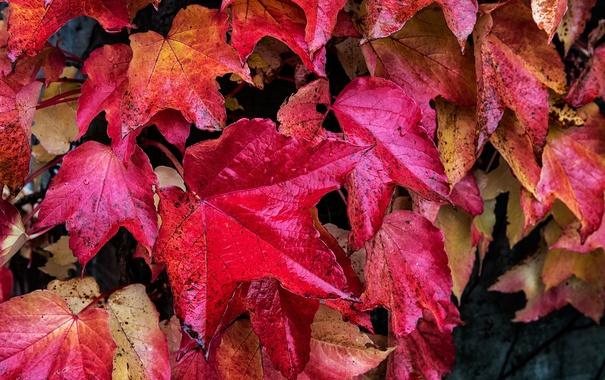 Фото обои осень, листья, капли, макро, роса, краски, багрянец