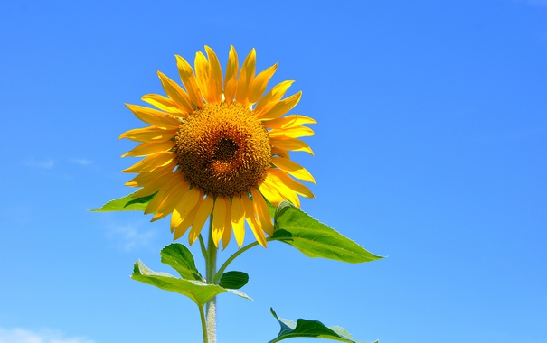 Фото обои небо, листья, макро, подсолнух, лепестки