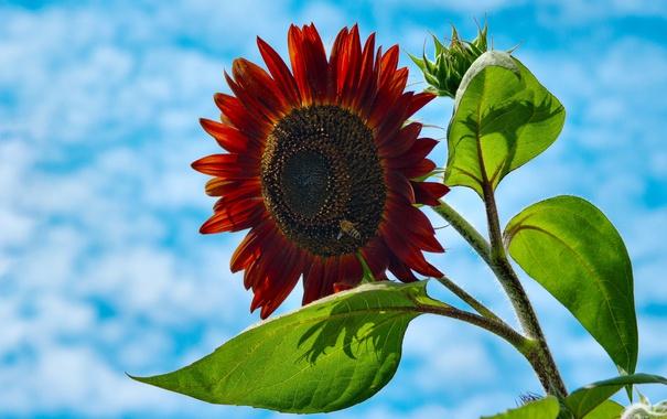 Фото обои цветок, небо, облака, пчела, подсолнух, лепестки, насекомое