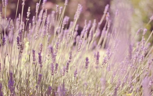 Фото обои трава, цветы, лаванда