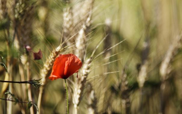 Фото обои красный, лепестки, мак, цветок, колоски