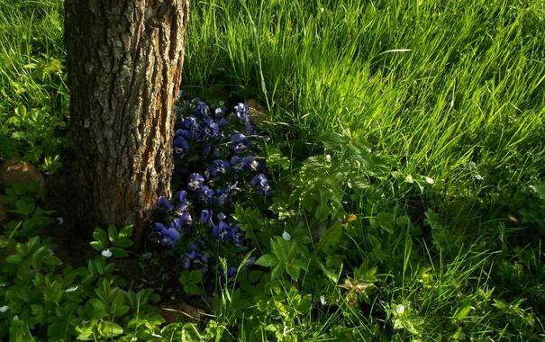 Фото обои зелень, трава, цветы, дерево, весна, анютины глазки