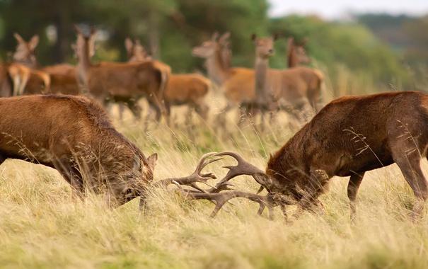 Фото обои осень, борьба, драка, пара, рога, олени, схватка