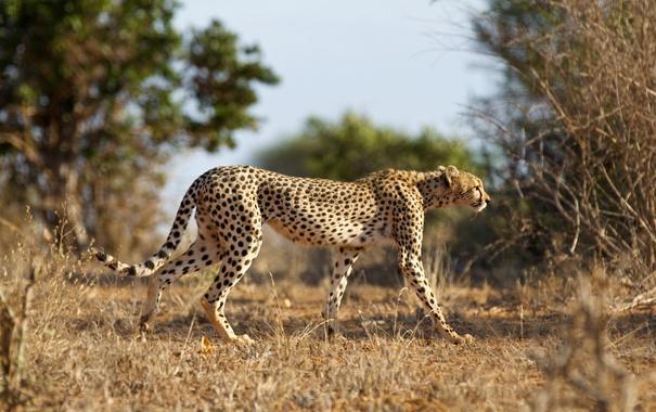 Фото обои кошка, природа, гепард, Cheetah