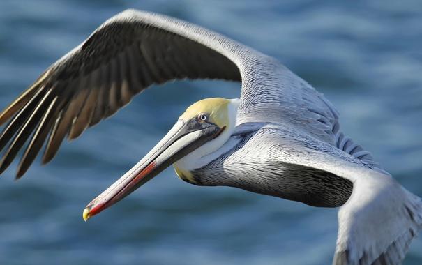Фото обои птица, крылья, клюв, пеликан