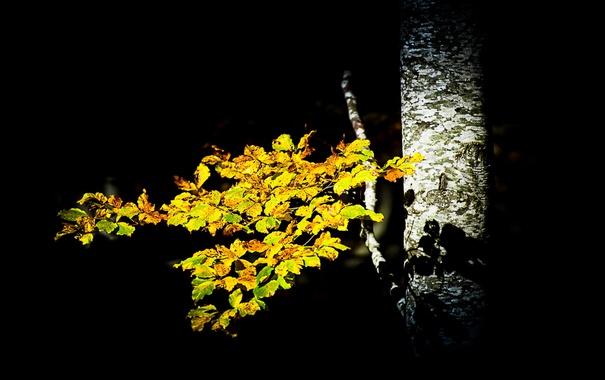 Фото обои берёза, осень, листья