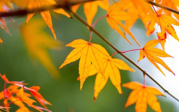 Фото обои природа, фон, осень, листья, цвет