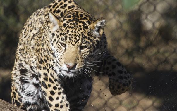 Фото обои морда, лапа, хищник, ягуар, дикая кошка, молодой