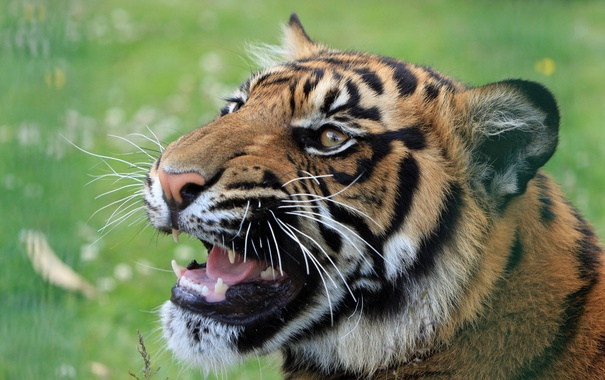 Фото обои пасть, животное, хищник, тигр