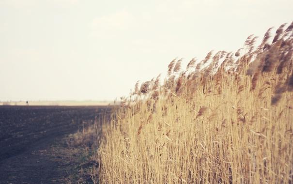Фото обои поле, колоски, много