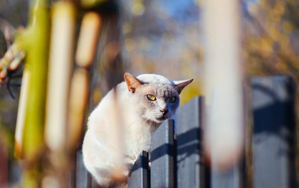 Фото обои кошка, кот, взгляд, забор, кошак
