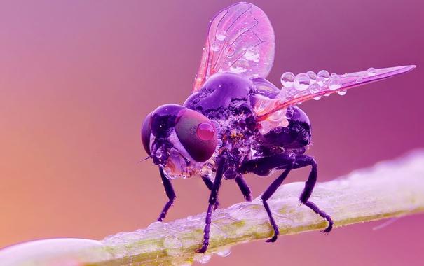 Фото обои капли, насекомое, муха, роса