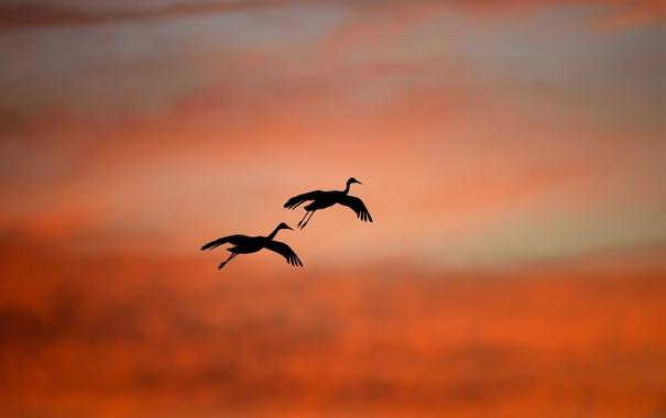 Фото обои птицы, небо, полёт