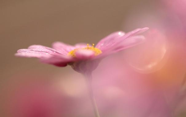 Фото обои цветок, макро, розовый, боке