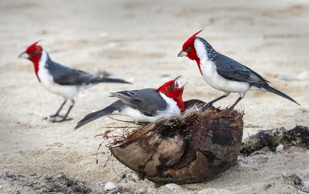 Фото обои птица, цвет, перья, семья, гнездо, кардинал