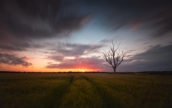 Фото обои поле, закат, дерево