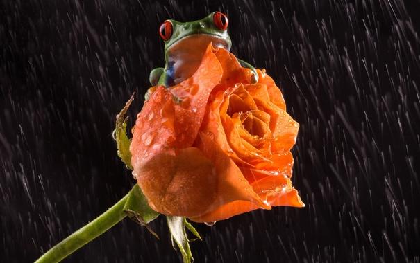 Фото обои цветок, любовь, дождь, роза, лягушка, лапки, love