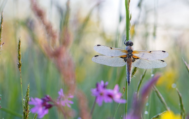 Фото обои лето, трава, макро, цветы, крылья, стрекоза, насекомое
