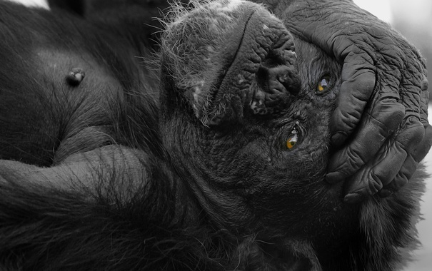 Фото обои лапа, рука, обезьяна, горилла, обезьянка