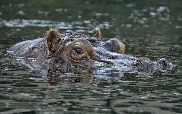 Фото обои вода, природа, бегемот