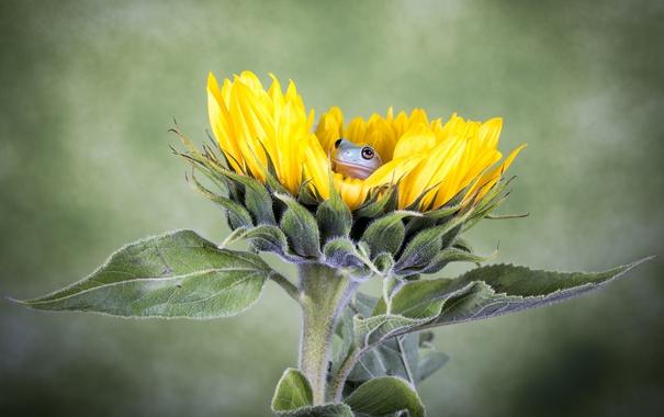 Фото обои цветок, лягушка, подсолнух