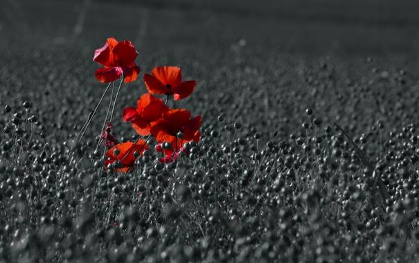 Фото обои цвет, маки, поле