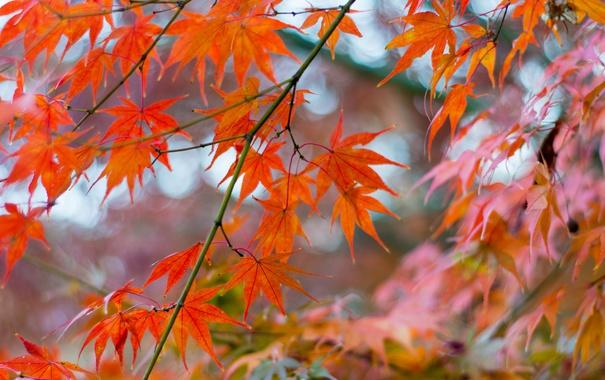 Фото обои клен, ветка, макро, листья, осень