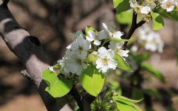 Фото обои green, white, pink, flowers, china, pear, natural