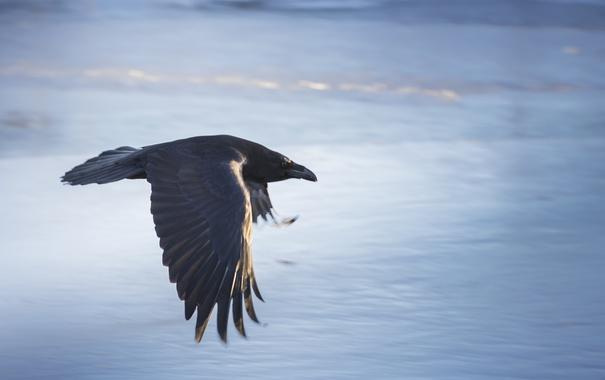 Фото обои полет, фон, птица, ворона