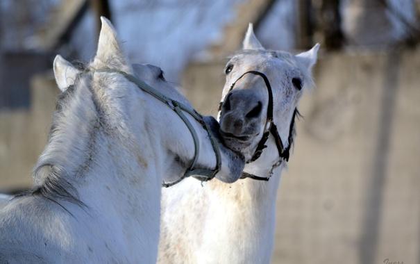 Фото обои природа, фон, кони