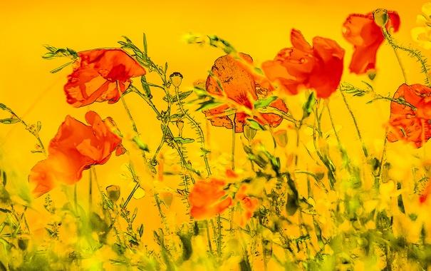 Фото обои цветы, фон, маки
