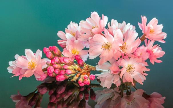 Фото обои cherry, reflection, petals, mirror, blossoms, buds, stamens