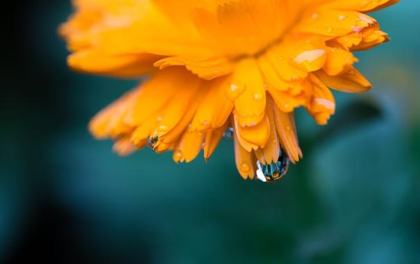 Фото обои цветок, макро, оранжевый, роса, календула