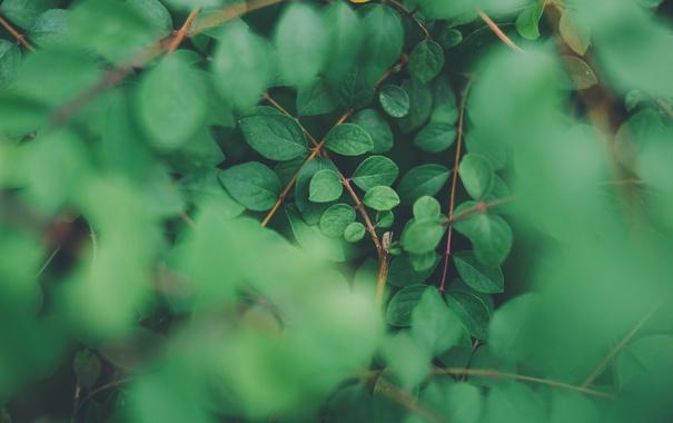 Фото обои листья, макро, ветки