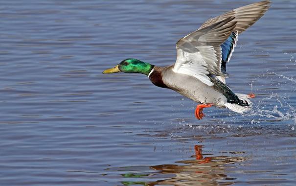 Фото обои feathery, colors, fowl, duck, water