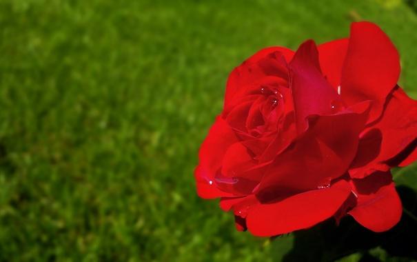 Фото обои капли, макро, роза, лепестки, бутон