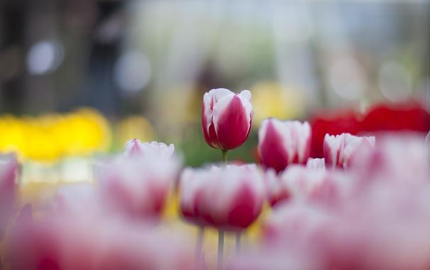 Фото обои весна, тюльпаны, много, розово-белые