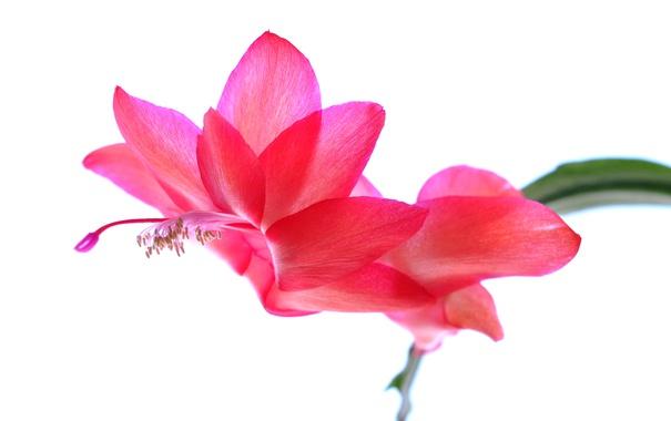 Фото обои цветок, лепестки, кактус