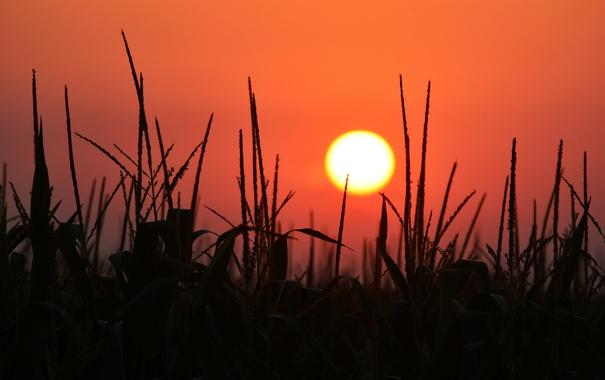 Фото обои закат, поле, небо, кукуруза, солнце