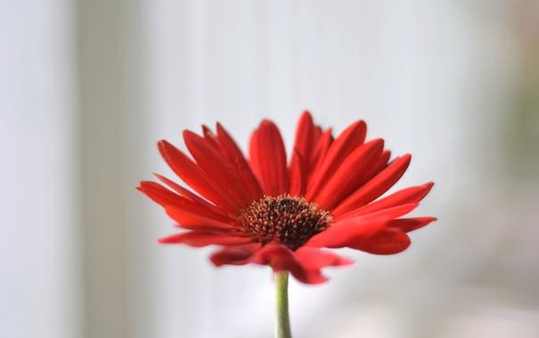 Фото обои цветок, лепестки, гербера, красный