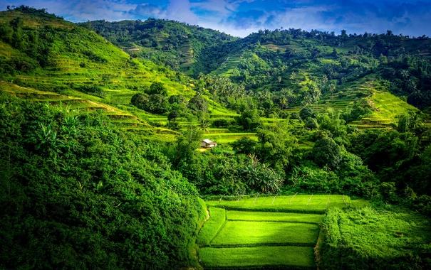 Фото обои пальмы, плантации, поля, горы, деревья, зелень, трава