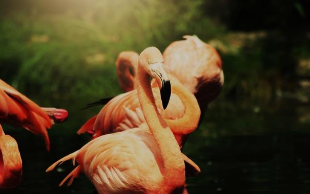 Фото обои птица, перья, фламинго