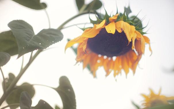 Фото обои цветок, желтый, подсолнух, лепестки