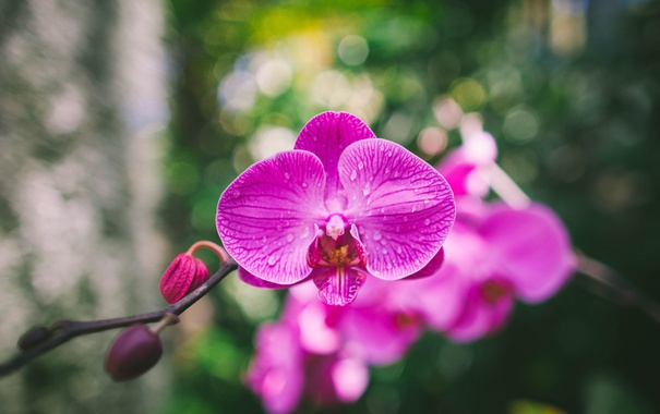 Фото обои цветок, лепестки, орхидея